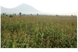 Minagri projects a surplus of 300,000 tons of maize this year. (photo Eric Didier Karinganire)